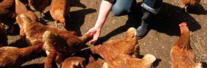 maquinas para incineracion de animales en granjas avicolas