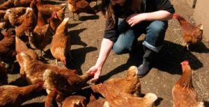 alimentando pollos en la granja
