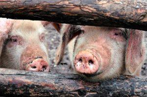 cerdos en riesgo de peste porcina