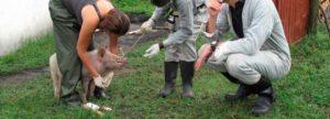 veterinarios analizan un lechon